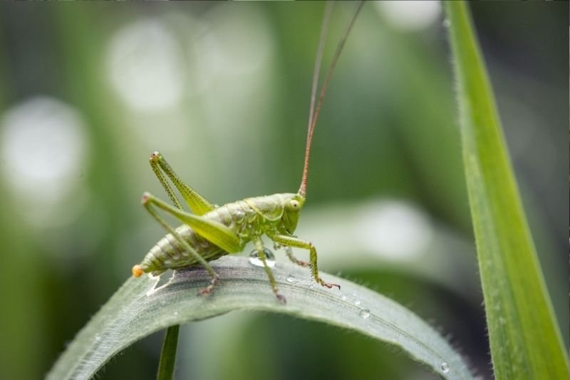Insect Farming Cricket