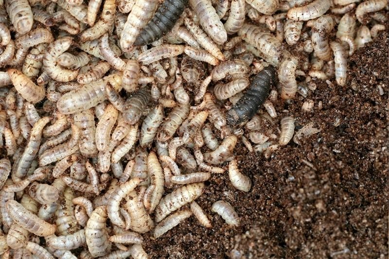 Insect Farming